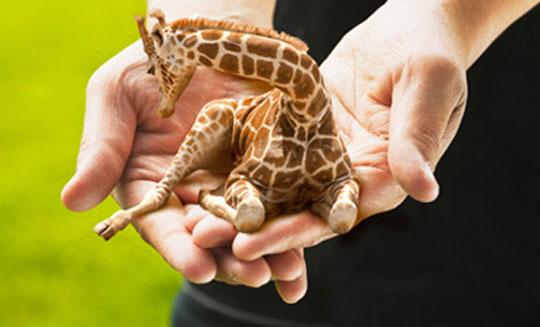 image1-girafe